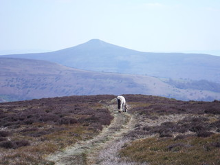 View down flank of Pen Twyn Glas towards Sugar Loaf, with Wild Pony SWC Walk 333 - Crickhowell Circular (via Table Mountain and the Three Pens)