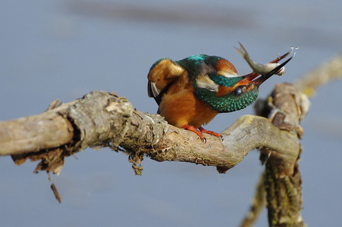 lackfordlakes suffolk wild bird nature wildlife kingfisher alcedoatthis fish
