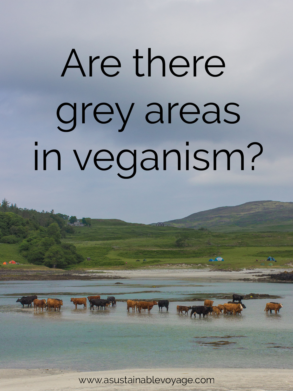 Are there grey areas in veganism? Photo of cows standing in the sea on the Isle of Eigg.