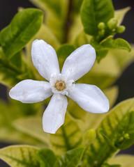 Snowflake flower (Wrightia) in the Dogbane family