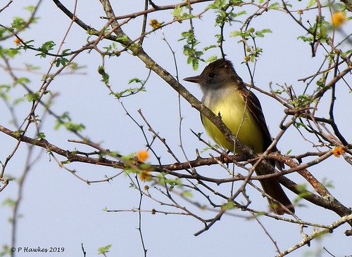 texas resacadelapalmaspwbcbrownsville pamhawkes bird greatcrestedflycatcher