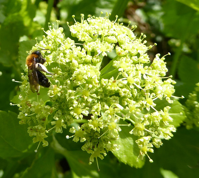 Solitary mining bee on Alexanders