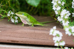 Green Anole Showing Off-6