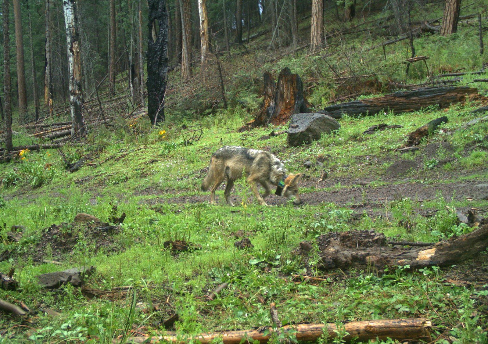 photo of mexican wolf