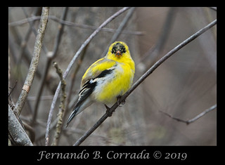 American Goldfinch (9856)