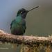 Talamanca Hummingbird With Tip Of Tongue Out