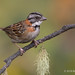 Perched Male Rufous-collared Sparrow With A Short Tail