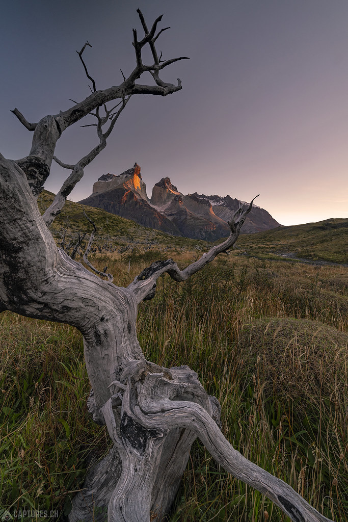 Tree and the Cuernos - Torres del Paine