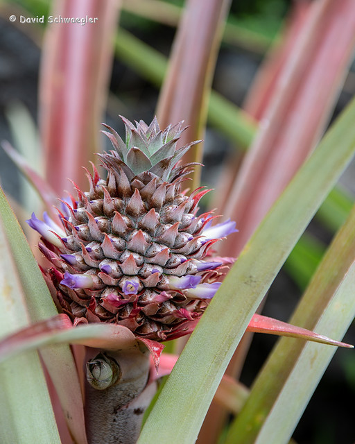 Young Pineapple in Bloom