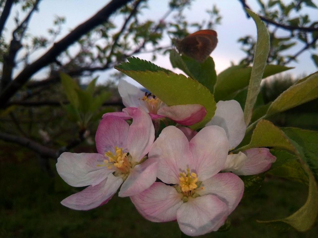 Pommiers en fleurs, premières feuilles