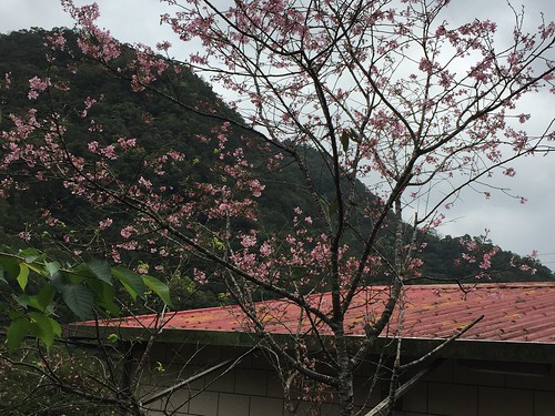 early cherry blossoms in the tea mountains. From Travel to Asia: A New Understanding–Taipei, Taiwan