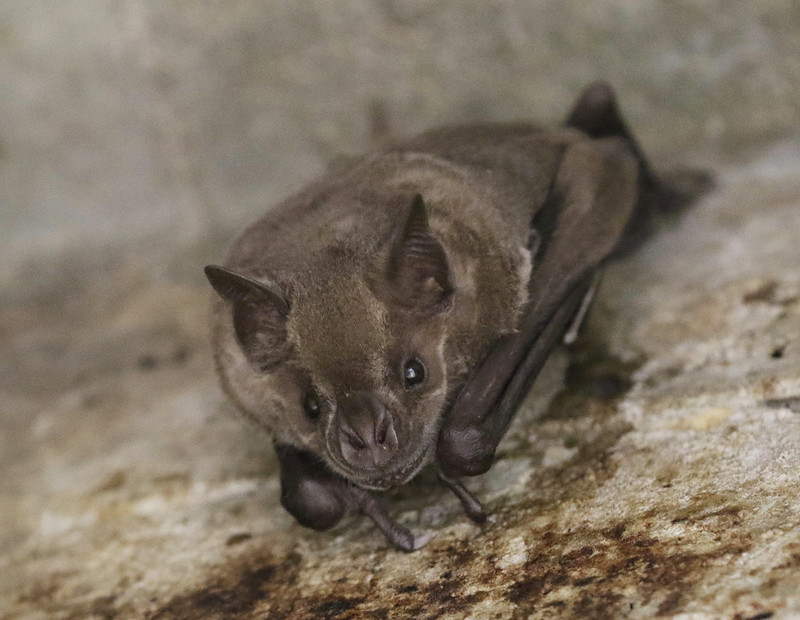 Jamaican Fruit Bat, Artibeus jamaicensis Ascanio_Cub2 199A2077