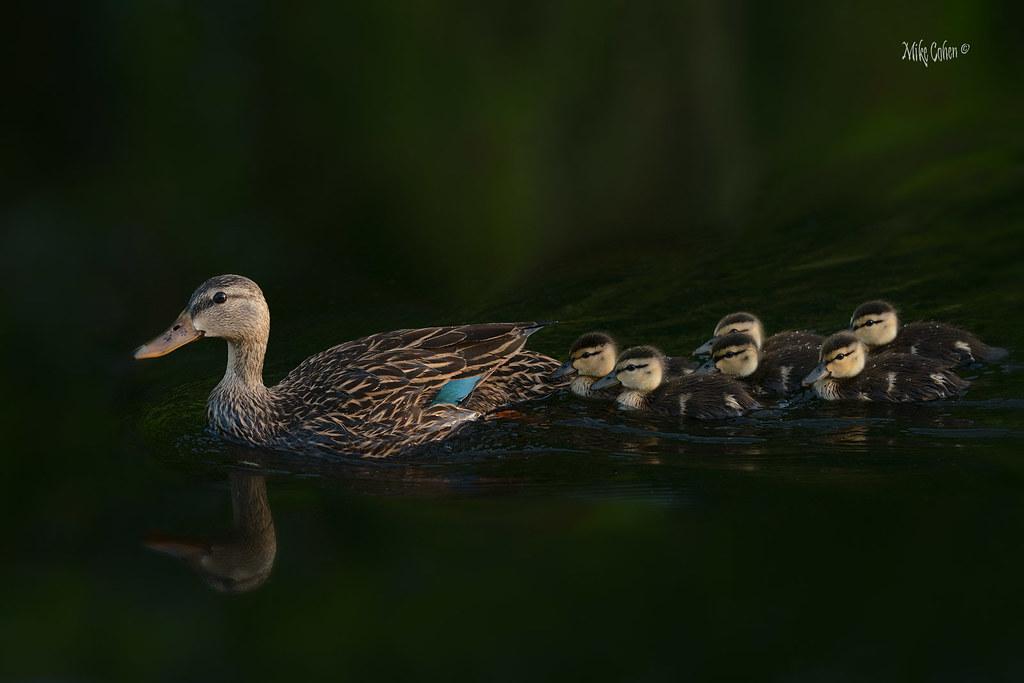 Mottled Duck Family