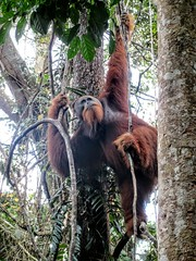 Travel Tips a great Jungle trekking experience to meet Orangutan in the wild Contact now.. WhatsApp +6282161735162 Email: adi.look25@gmail.com   #bukitlawang #sumatra #indonesia #jakarta #bali #singapore #students #university #job #work #vacation #travel