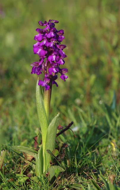 Kent's Green Winged Orchids - Anacamptis morio.