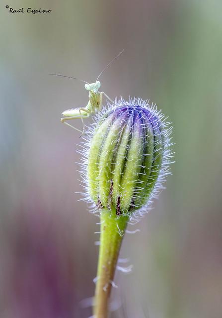 Ninfa de mantis religiosa