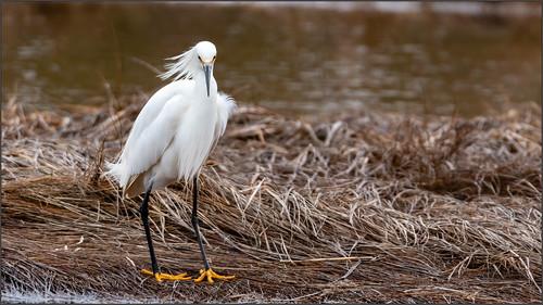 clamharbour birds snowyegret canada location egrets wildlife novascotia