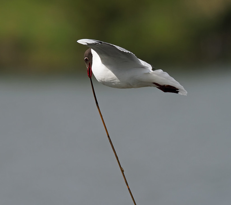 Black-headed Gulls gathering nest material