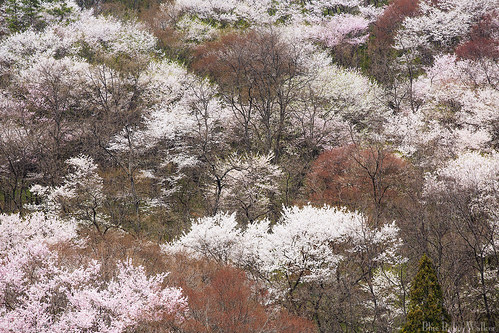 SAKURA Mountain