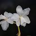 Cattleya loddigesii var. alba