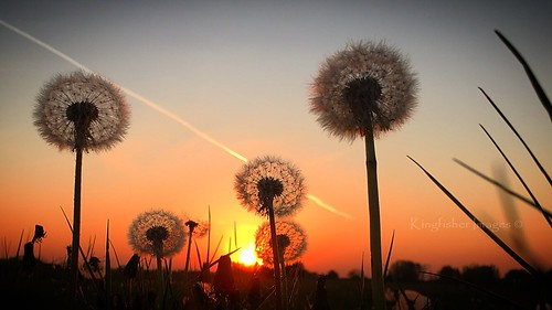 dusk sunset dandelion iphone kingfisherimages