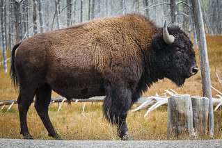 Bison Beside Road | by Mark Frye