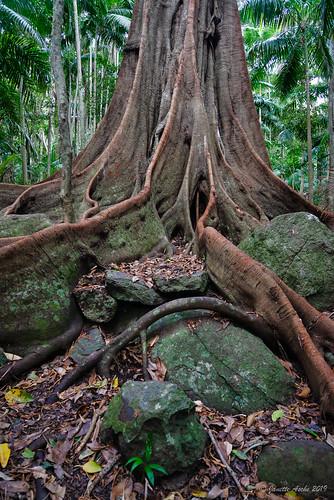 australia gondwana mttamborine qld queensland tamborine tamborinenationalpark witchesfallstrack boulders bushwalk forest rainforest rocks seqld tree trees fig ficuswatkinsiana watkinsstranglerfig trunk