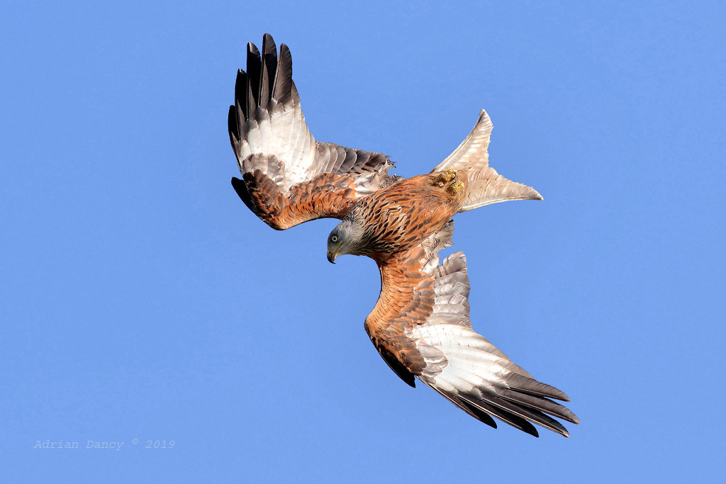 9P1A1557 Red Kite