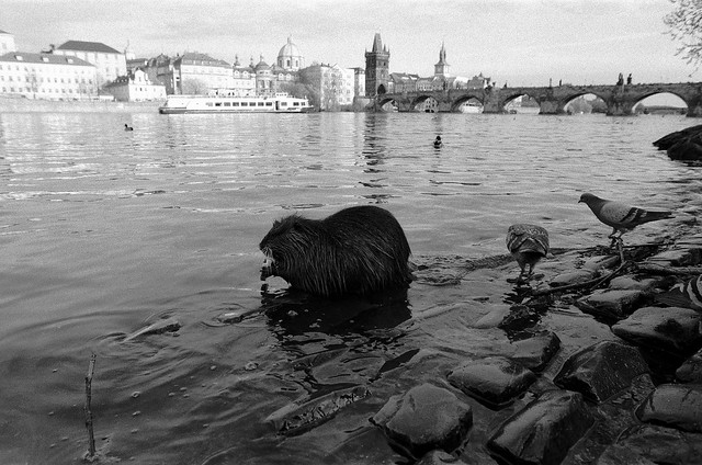 Coypu and pigeons on the Vltava