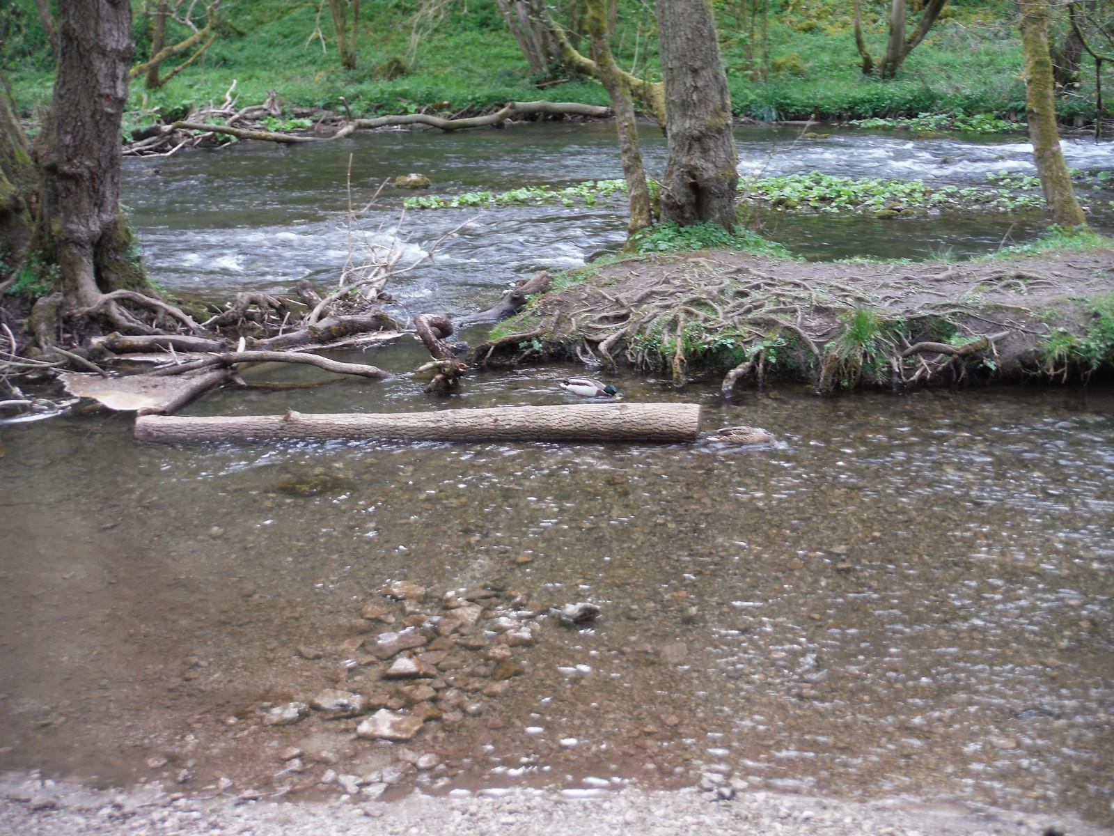 Ducks in The Dove SWC Walk 326 - Dovedale (Ashbourne Circular)
