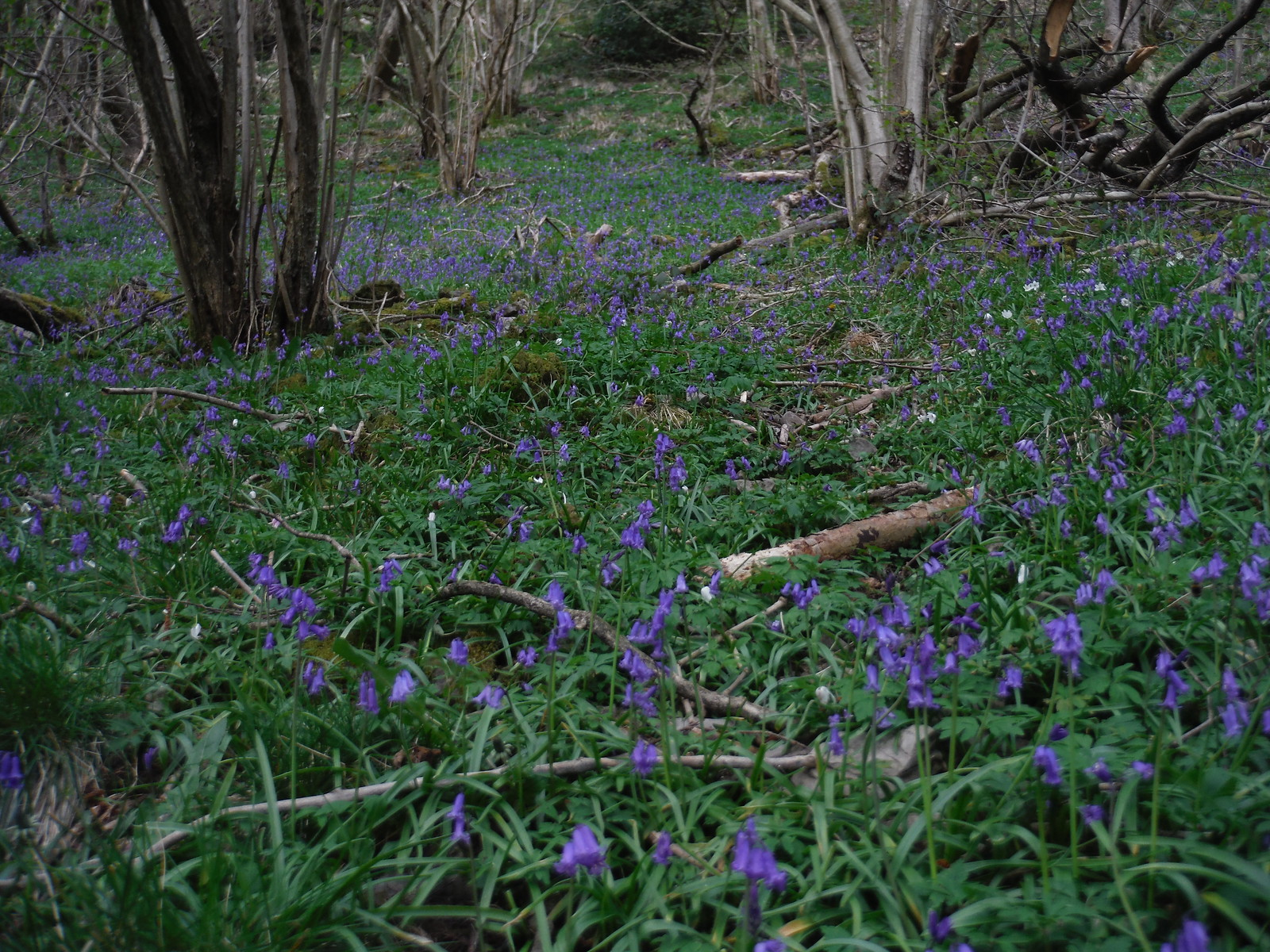 Bluebells, Dovedale SWC Walk 326 - Dovedale (Ashbourne Circular) [Long Version via Alstonefield]
