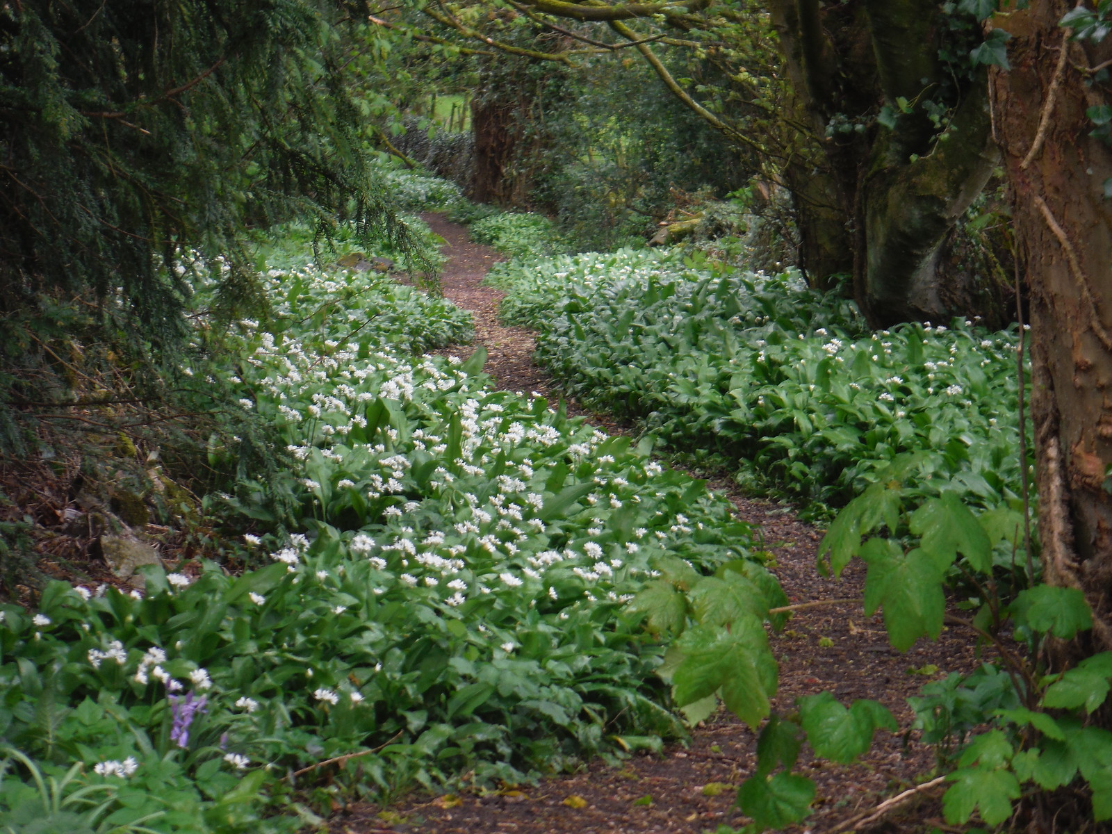 Wild Garlic, near St. Leonhard's Church, Thorpe SWC Walk 326 - Dovedale (Ashbourne Circular)