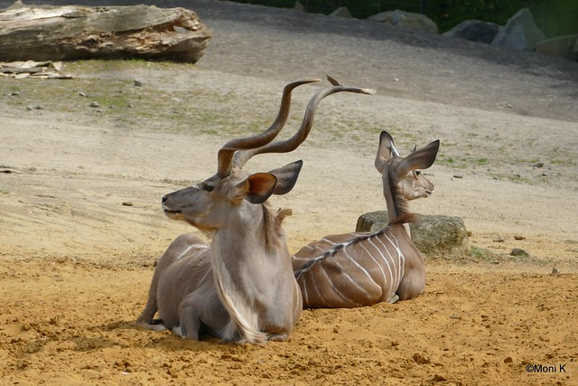 29-Großer Kudu