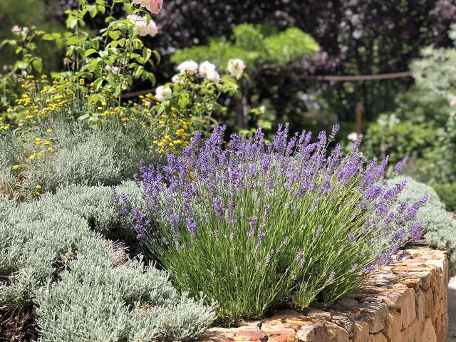 Loving lavender