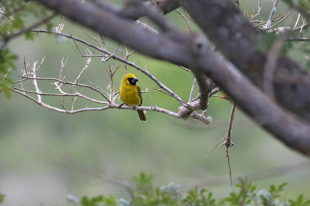 Yellow-Green Grosbeak (Caryothraustes canadensis)