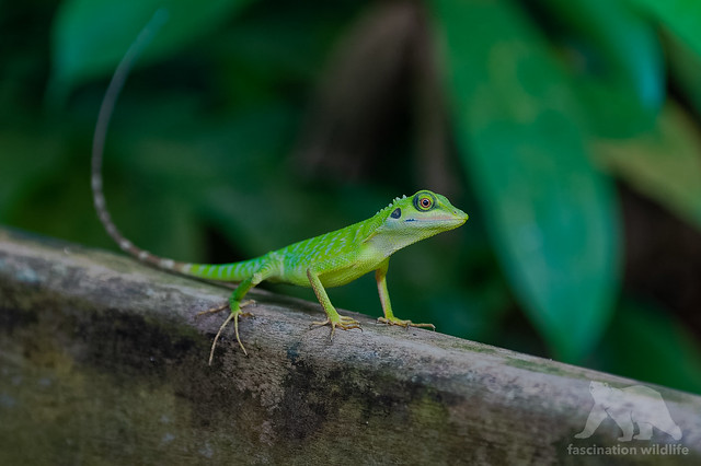 Green Crested Lizard #Explored