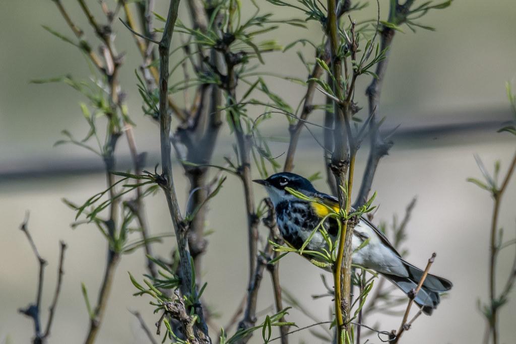 Myrtle's and Audubon's Warbler-5