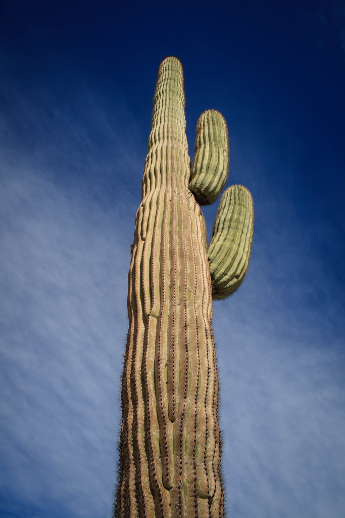 Looking Up The Saguaro