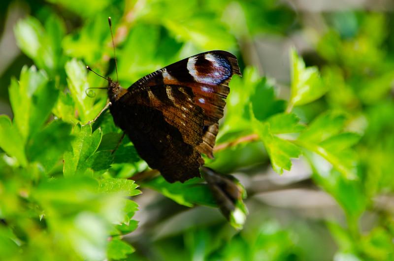 Peacock butterfly on hawthorn leaf
