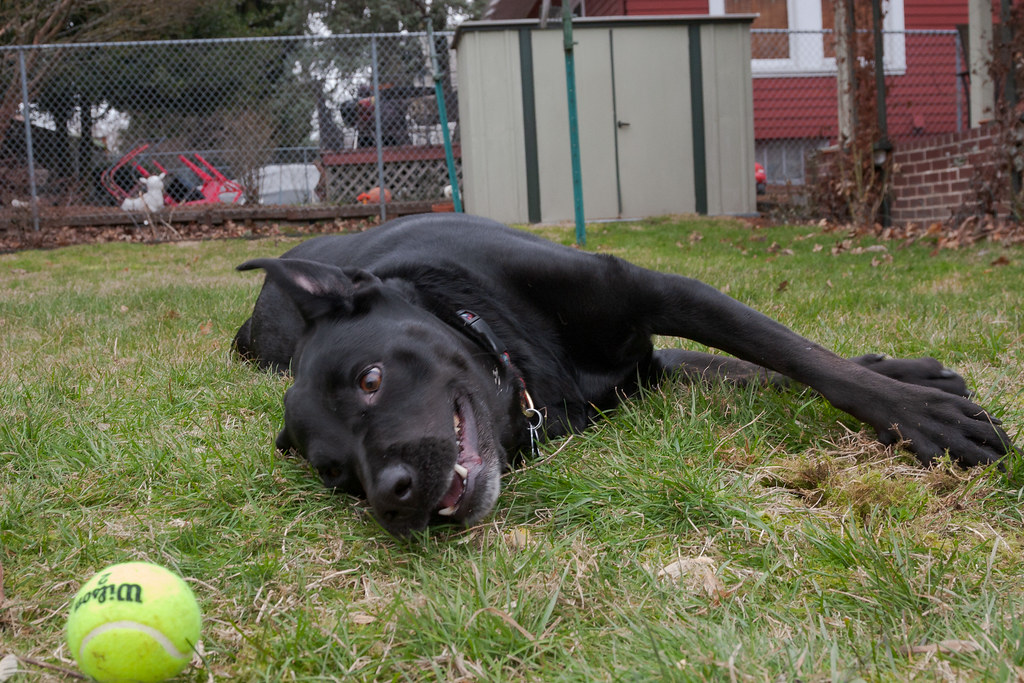 Our dog Ellie lies on her side in her backyard and looks at a tennis ball that is just out of reach
