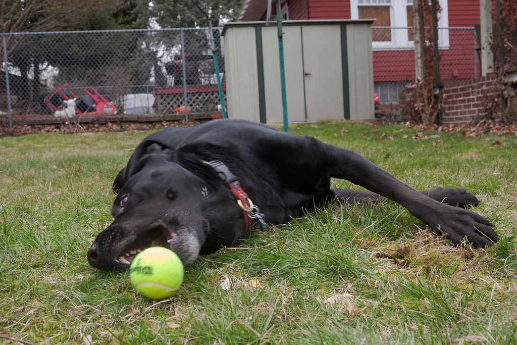 Our dog Ellie lies on her side in her backyard and reaches out with her mouth for a tennis ball