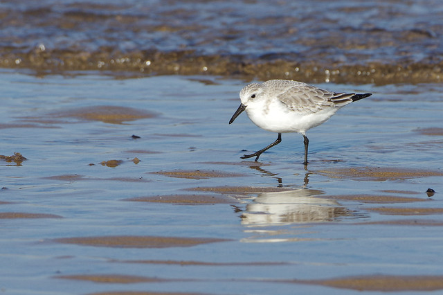 K32P7183c Sanderling, Titchwell Beach, February 2019