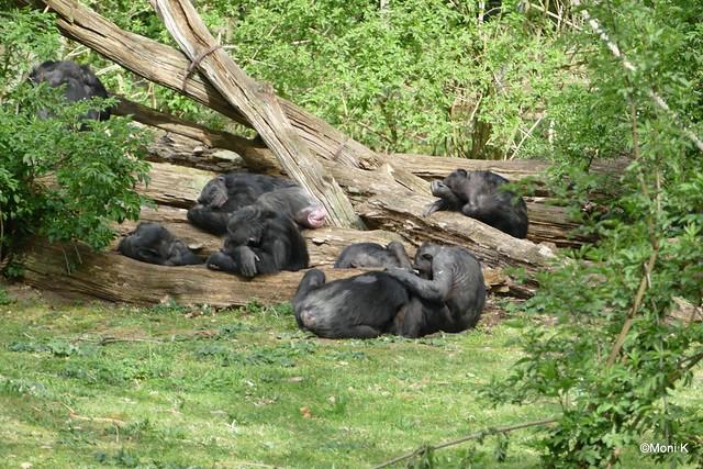 20-Schimpansen