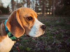 Ukko the beagle II