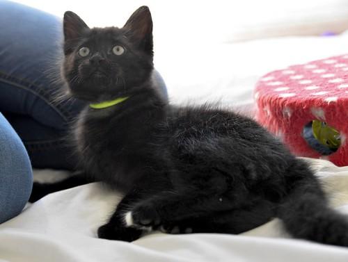 Yoel, gatito monisimo pelo semilargo negro esterilizado, nacido en Febrero´19, en adopción. Valencia. 40756183593_e899133132