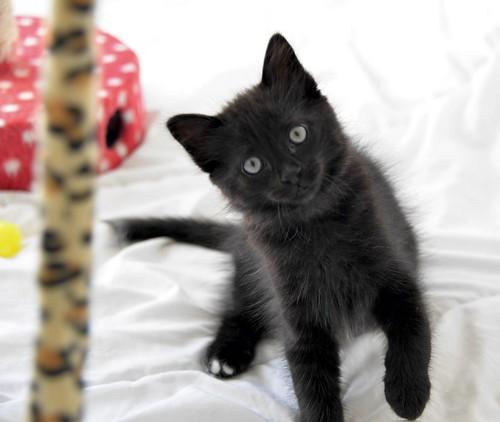 Yoel, gatito monisimo pelo semilargo negro esterilizado, nacido en Febrero´19, en adopción. Valencia. 40756184143_859ac85dac