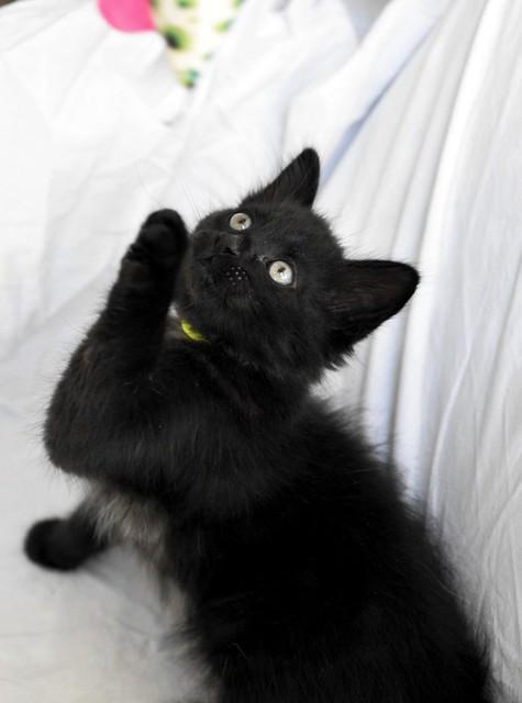 Yoel, gatito monisimo pelo semilargo negro esterilizado, nacido en Febrero´19, en adopción. Valencia. 40756185033_a6404799f0_z