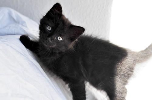Yoel, gatito monisimo pelo semilargo negro esterilizado, nacido en Febrero´19, en adopción. Valencia. 40756185463_c29c0f5d40