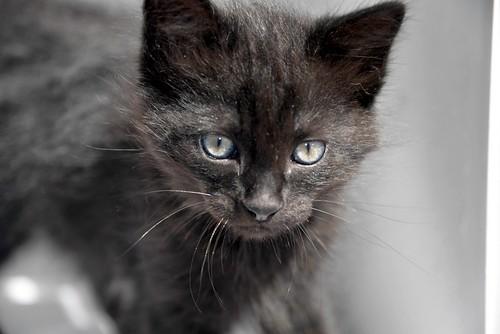Yoel, gatito monisimo pelo semilargo negro esterilizado, nacido en Febrero´19, en adopción. Valencia. 40756185793_682b180390