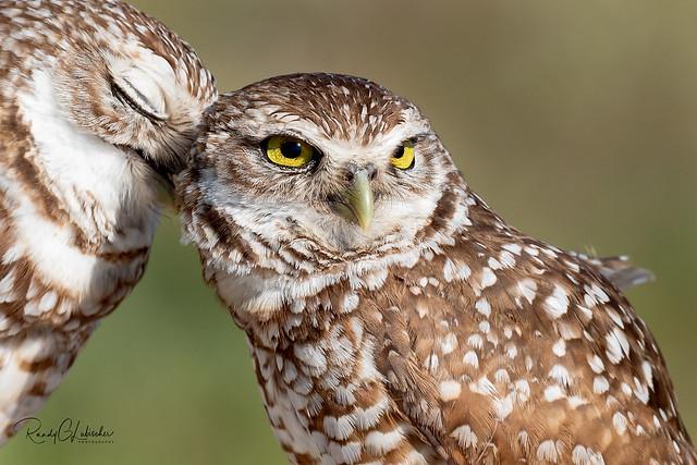 Burrowing Owl - Athene cunicularia | 2019 - 6